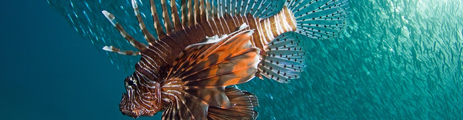 Diving in the Maldives with a lion fish