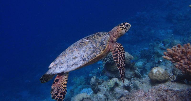 Conrad Maldives Rangali Island - turtle