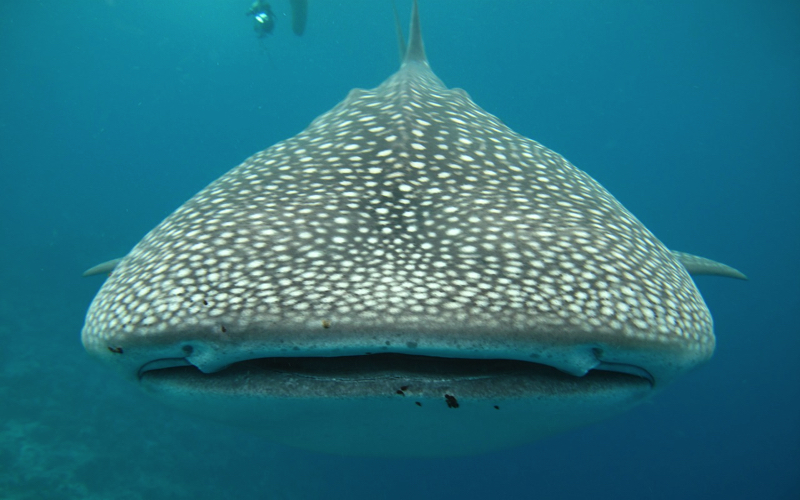 Front view of whale Shark in the Maldives