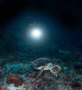 Night dive with turtle - Mainly Maldives
