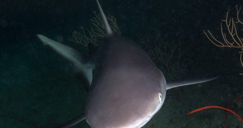 Night diving in the Maldives - reef shark
