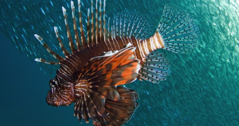 snorkeling in the Maldives - Lion fish