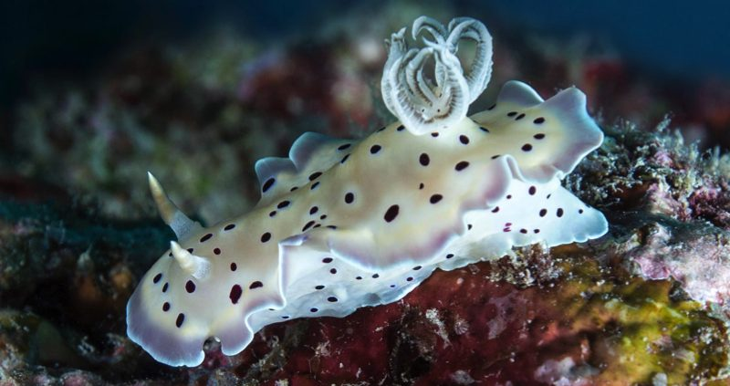 Nudibranchs in the Maldives