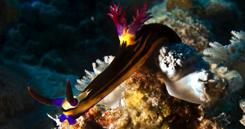 Bighorn Nudibranchs in the Maldives