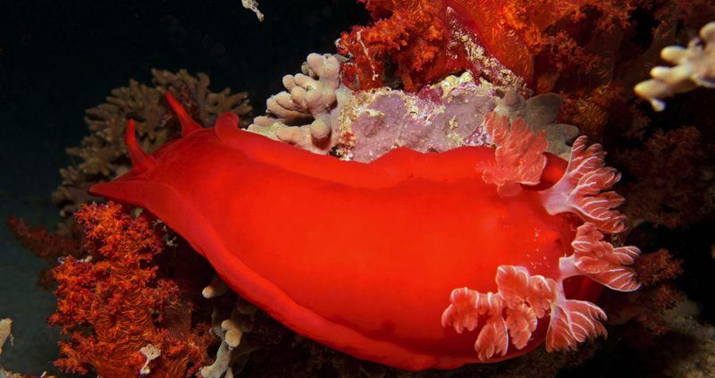 Spanish dancer Nudibranchs in the Maldives