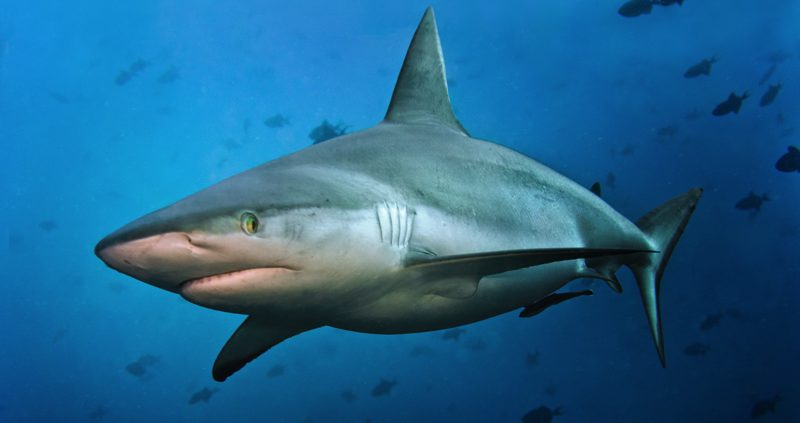 The Big 5 in the Maldives - Reef shark