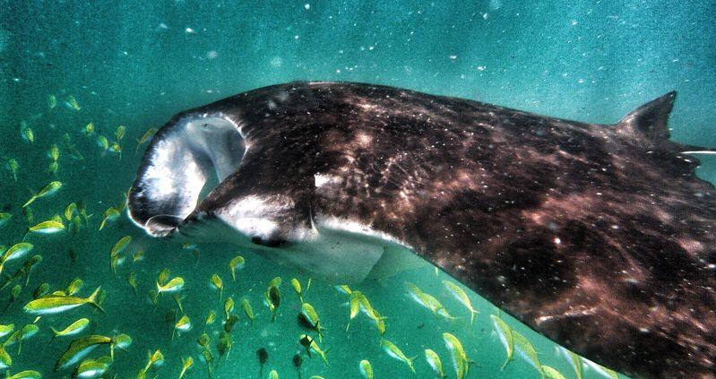 The Big 5 in the Maldives - Manta ray