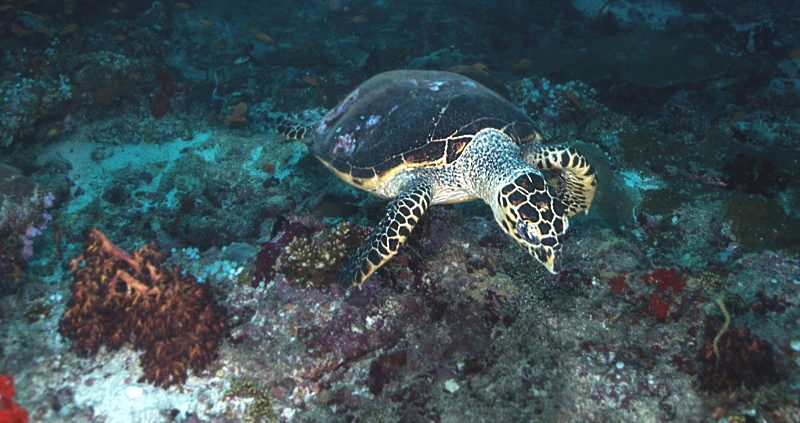 Night diving in the Maldives - turtle