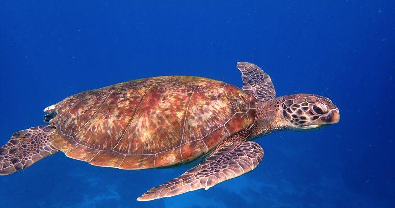 Turtle at cheval blanc Randheli Maldives