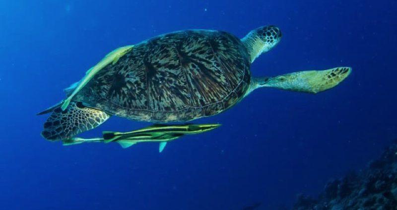 UNESCO Biosphere Reserve Maldives - Turtle