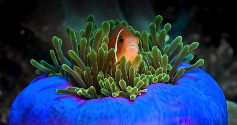 snorkeling in the Maldives - clown fish