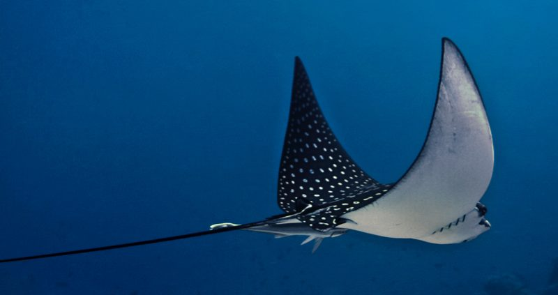 Eagle Ray at Eriyadu island resort Maldives