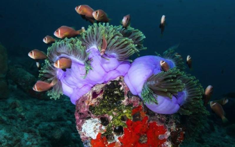 Clown Fish, MALDIVES
