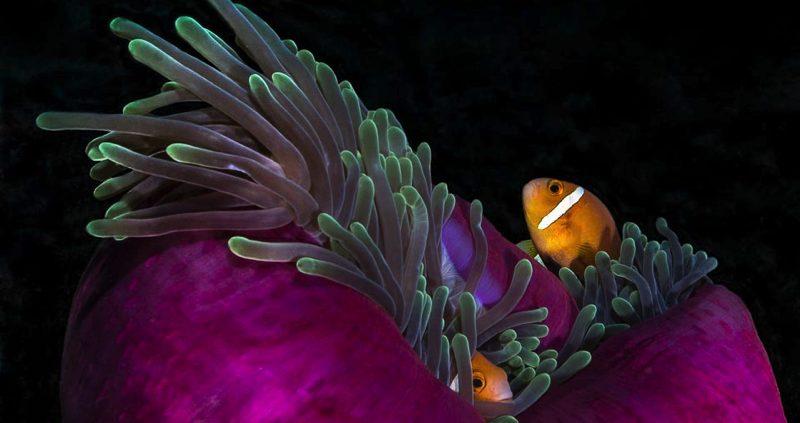 OZEN Resort Maldives - Clown fish