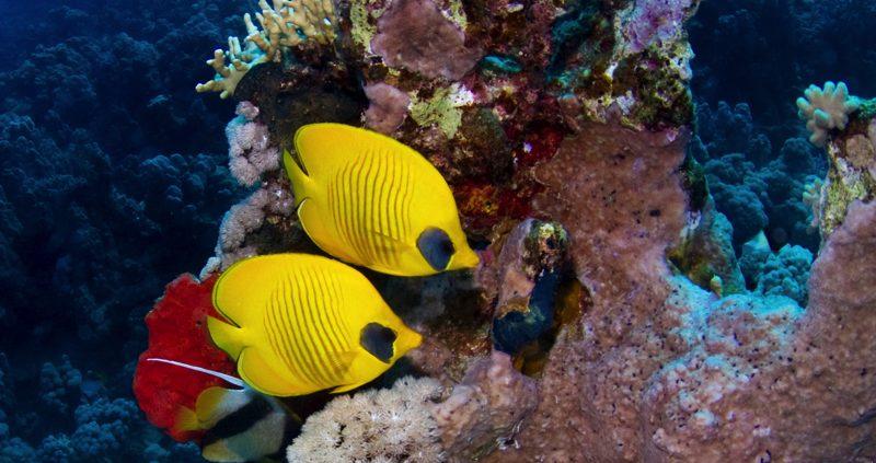 Best Resort House Reefs - Lily Beach butterfly fish