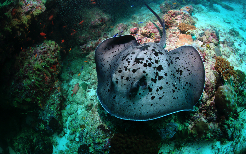 DIVING WITH EAGLE RAY