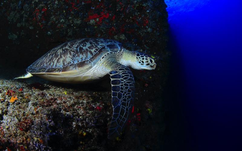 Turtle, Maldives