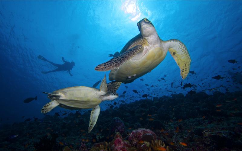 diving at Innahura Resort