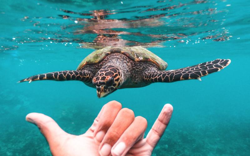 Turtle at Waldorf Astoria Maldives Ithaafushi Island Resort